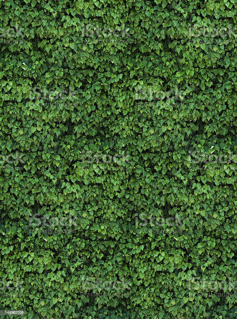 farm ivy wall stock photo