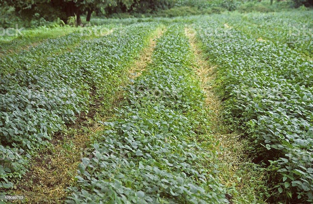Farm of Black-Eyed Peas, Cowpea stock photo