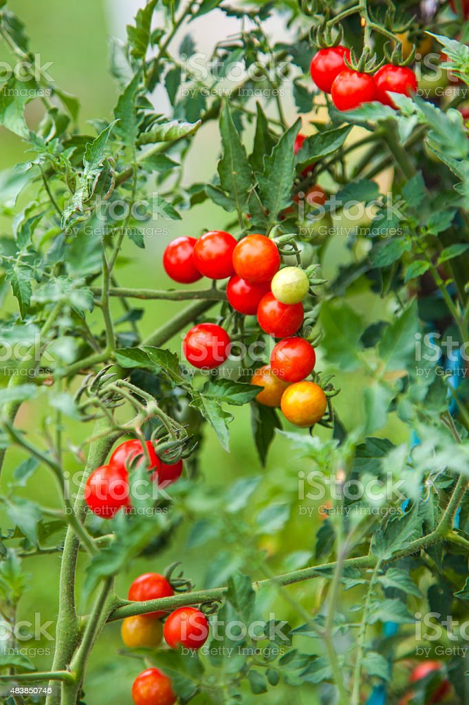 Farm of tasty red cherry tomatoes stock photo