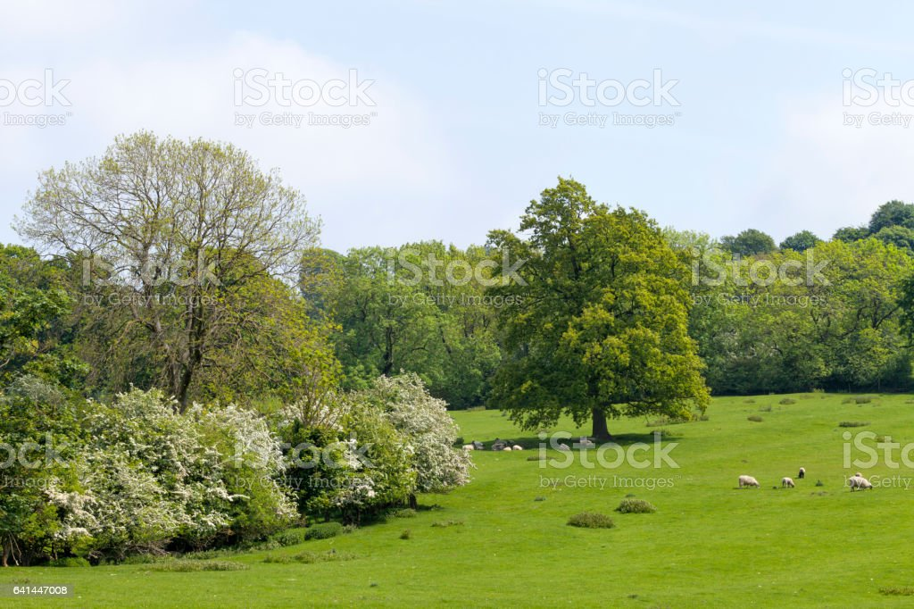 Farm on the edge of woods, with wooly sheep grazing on fresh grass, relaxing under oak tree, on a sunny summer day stock photo