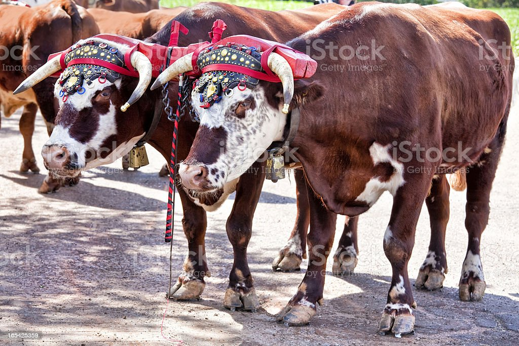 Farm Oxen stock photo