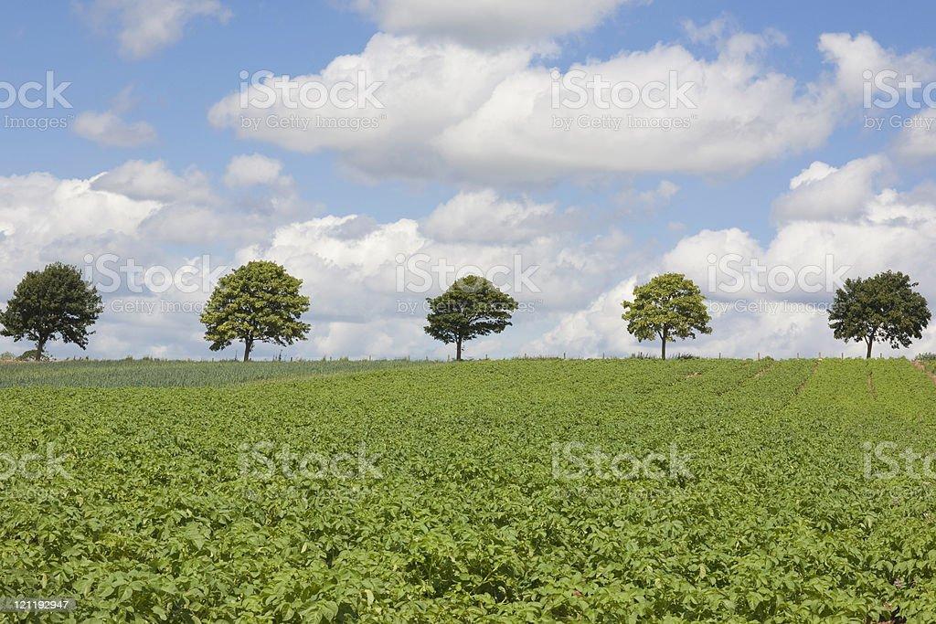 Farm: potato field royalty-free stock photo