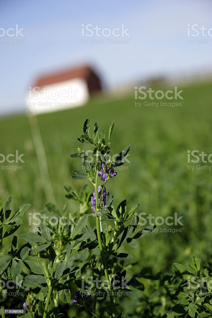 farm scene - alfalfa field stock photo