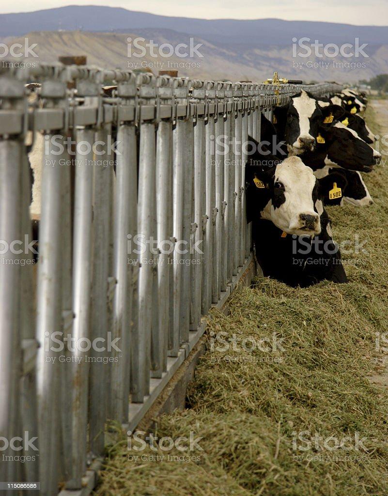 farm scenes - mountain dairy cows royalty-free stock photo
