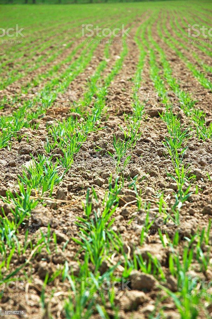 Farm Seedlings royalty-free stock photo