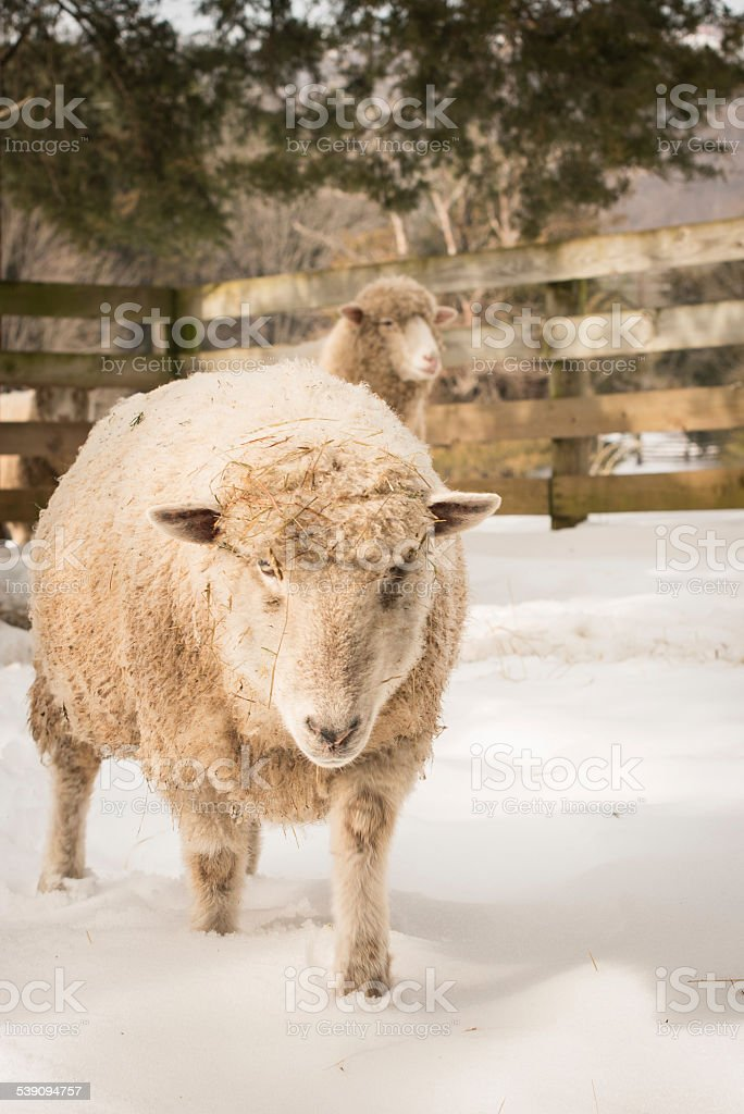 Farm Sheep on the Snow stock photo