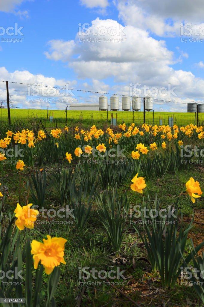 Farm Silos and daffodils stock photo