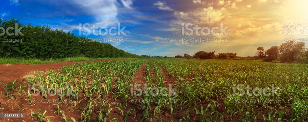 Farm - Sunrise at corn plantation field skyline panoramic stock photo