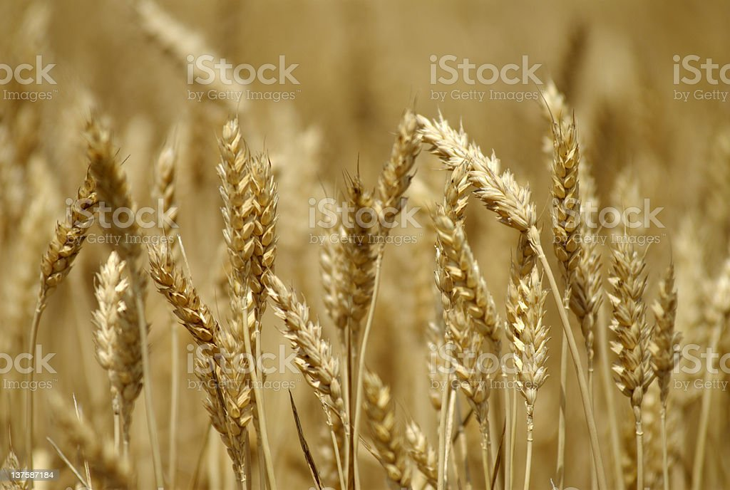 A GMO farm that grows brown wheat during crop season royalty-free stock photo
