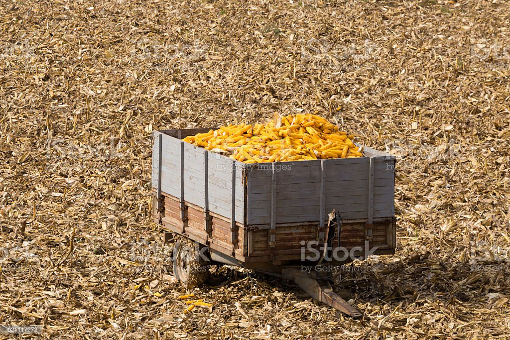 Farm tractor trailer full of harvested corn in the field stock photo