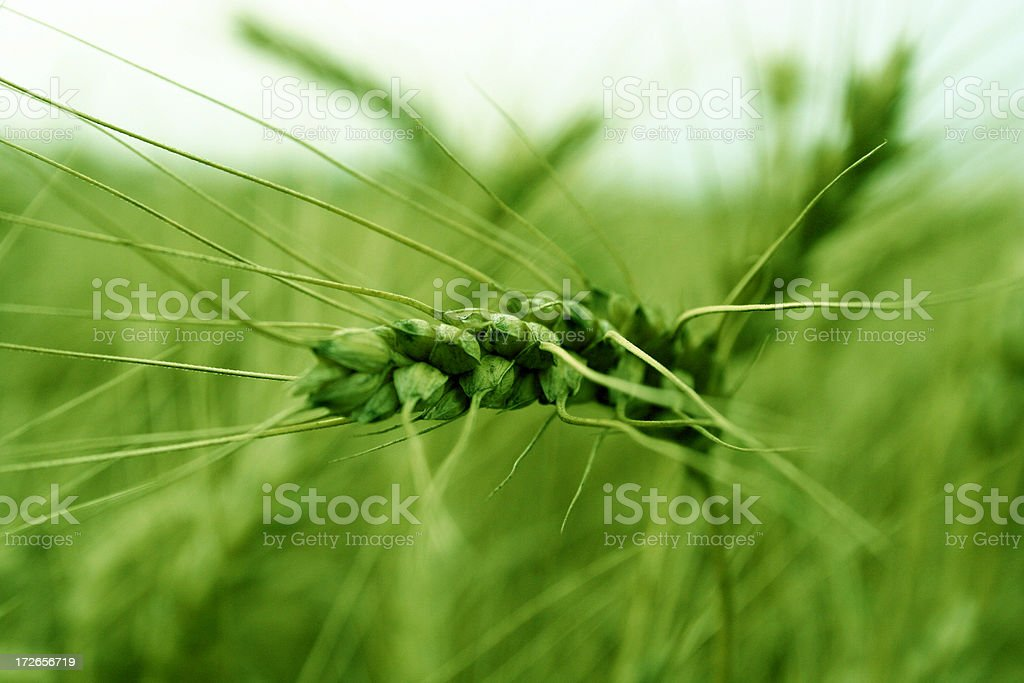 Farm - Wheat Macro -Green royalty-free stock photo