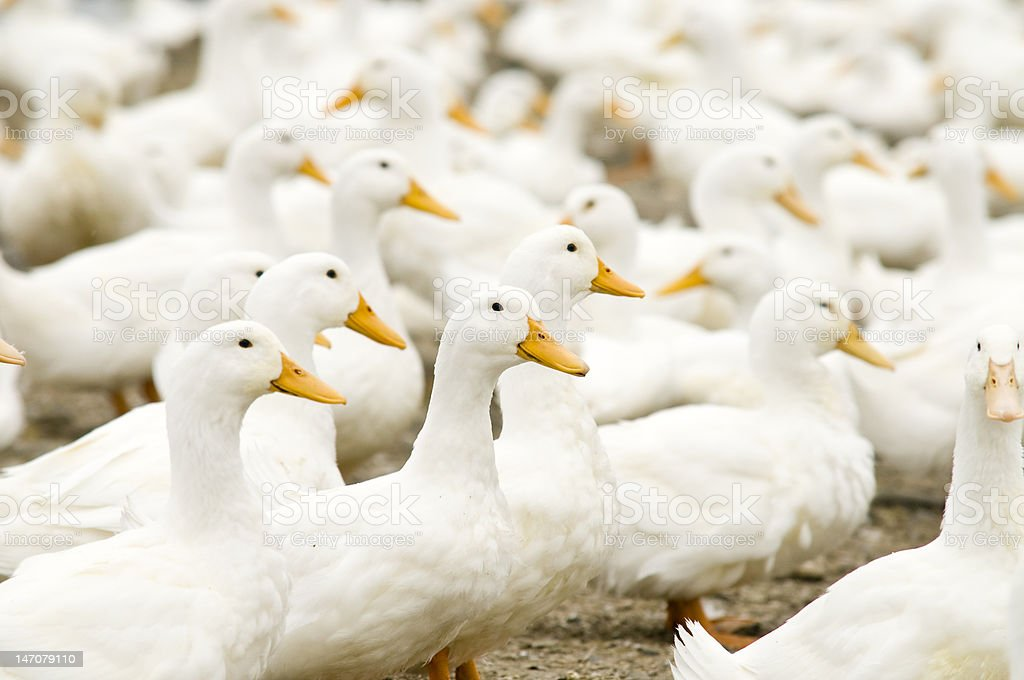 Farm White Ducks stock photo