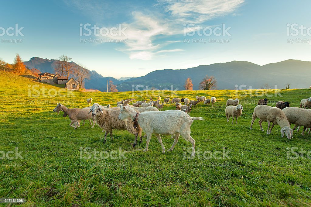Farm with sheep and goats stock photo