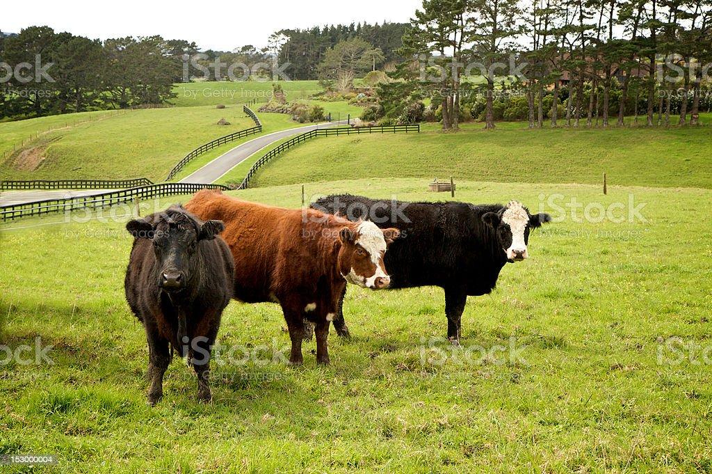 Farm with Three cows stock photo
