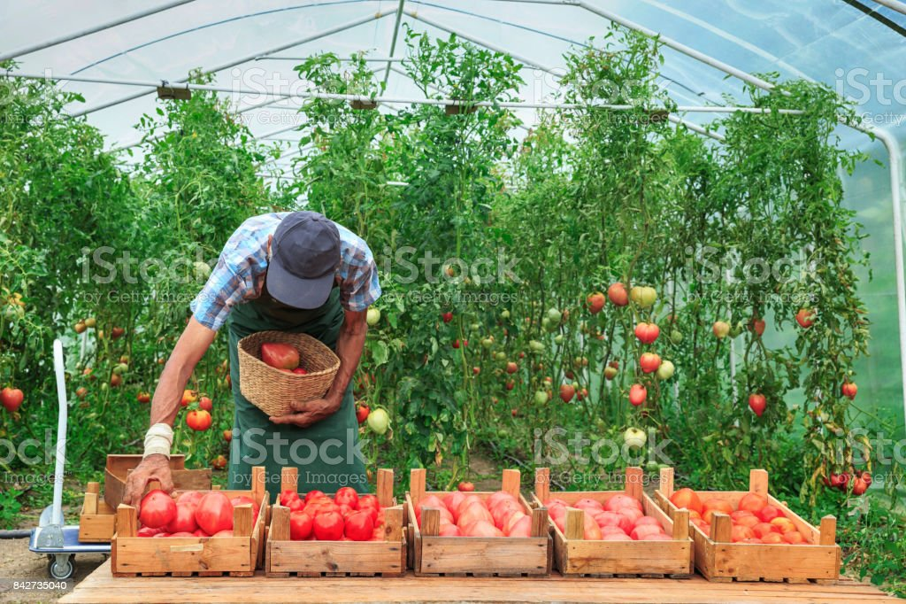 Farm worker collecting tomatoes from garden stock photo