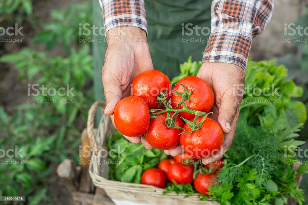 Farm worker holding a bunch of fresh cherry tomatoes stock photo