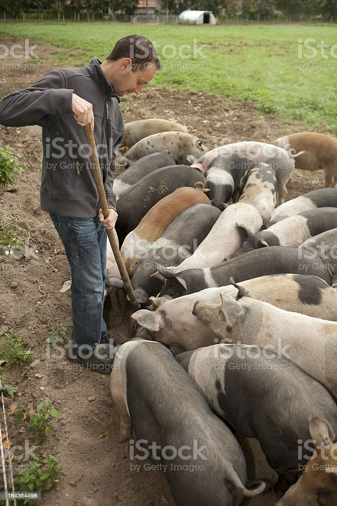 Farm worker looking at free range with pigs. royalty-free stock photo