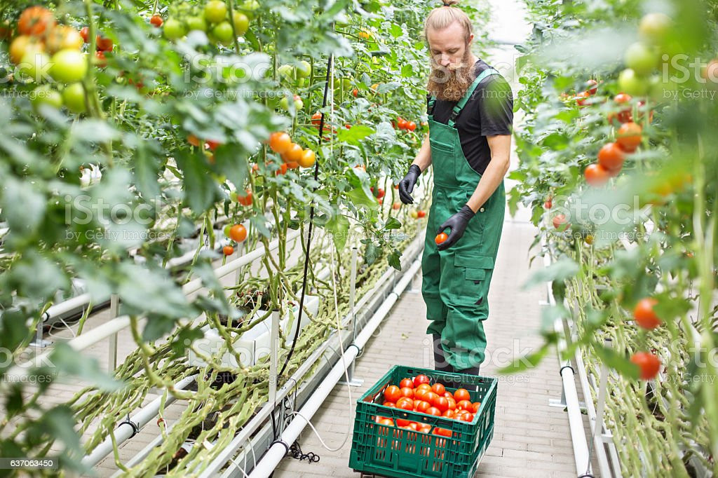 Farm worker picking ripe tomatoes in greenhouse stock photo