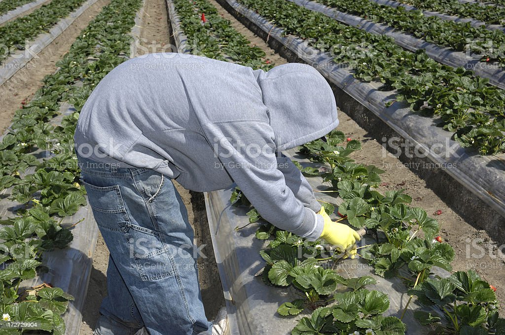 Farm Worker Trimming Strawberry Plants stock photo