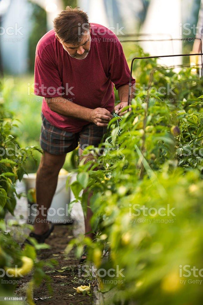 Farm worker tying the plants in a polyethylene tunnel. stock photo