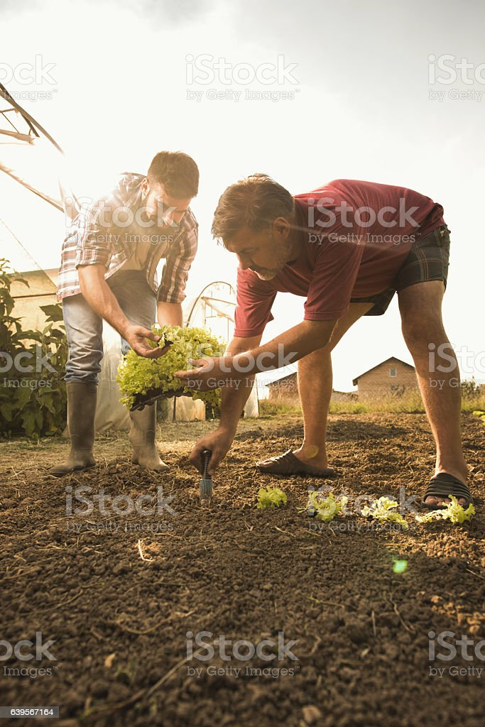 Farm workers cooperating while seeding lettuce on a field. stock photo