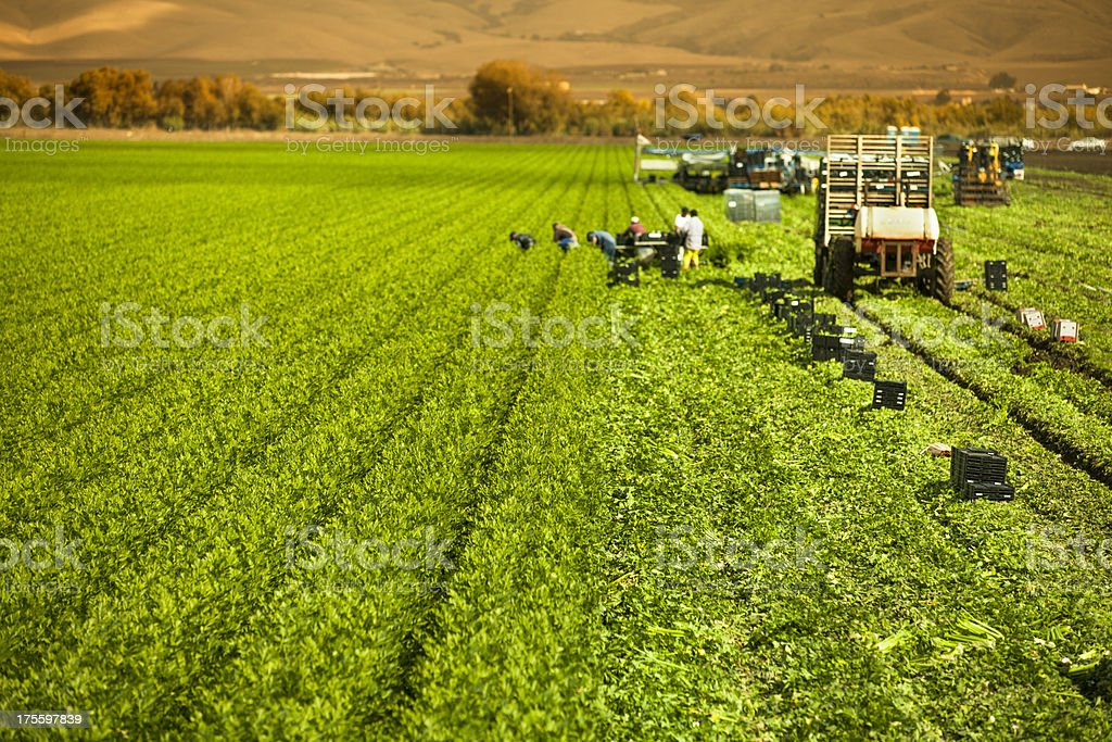 Farm workers harvesting a celery crop on fertile agriculture land stock photo