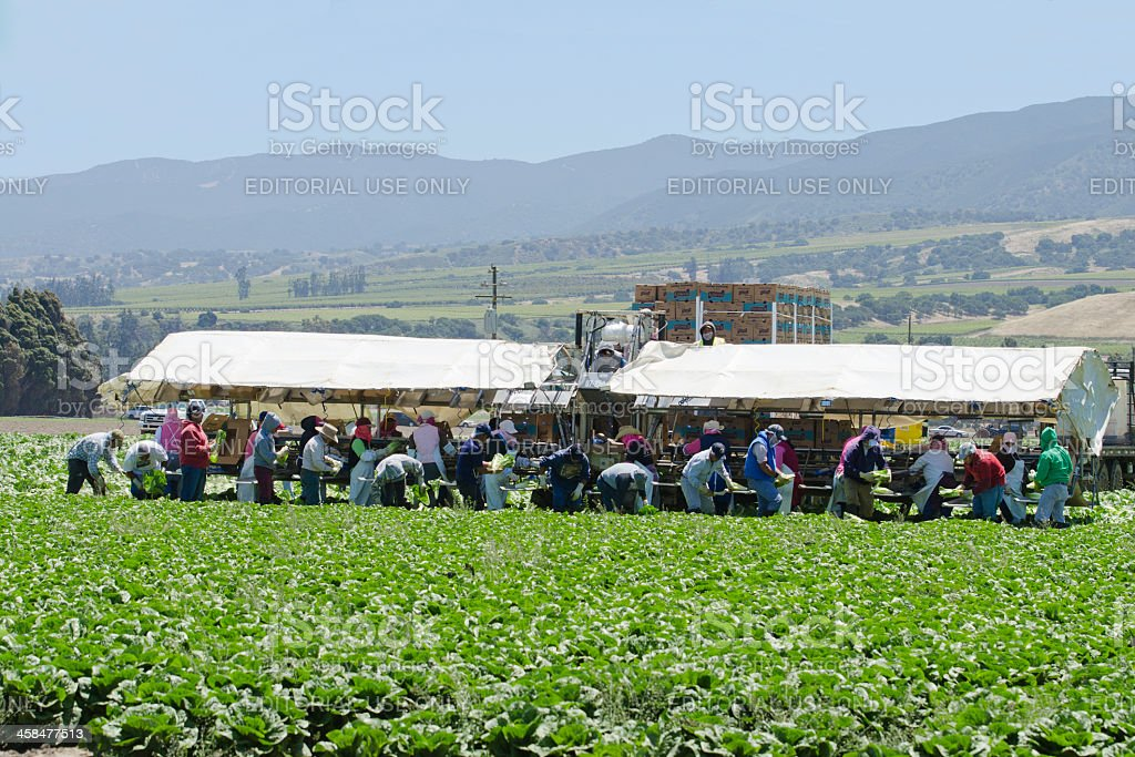 farm workers harvesting romaine lettuce, California stock photo