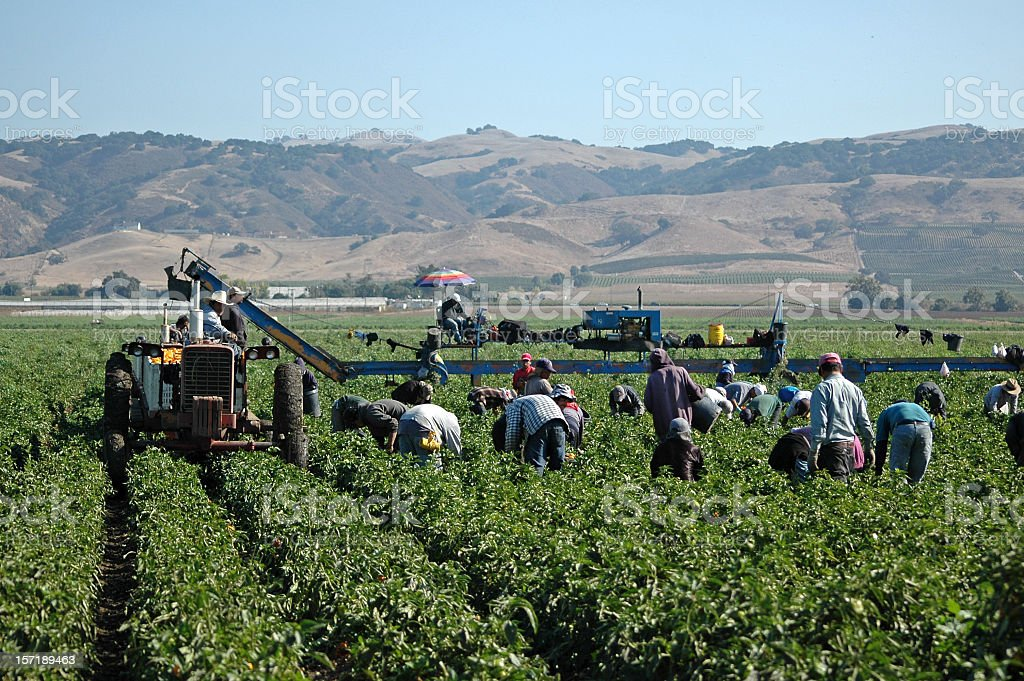 farm workers harvesting yellow peppers in California stock photo