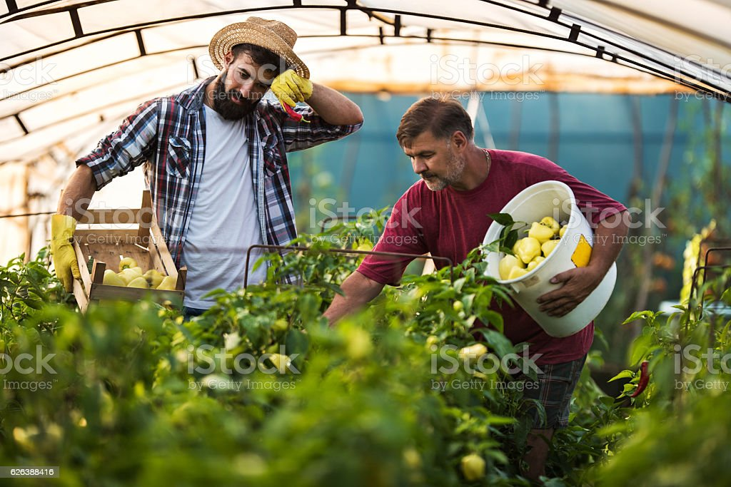 Farm workers picking bell pepper in a greenhouse. stock photo