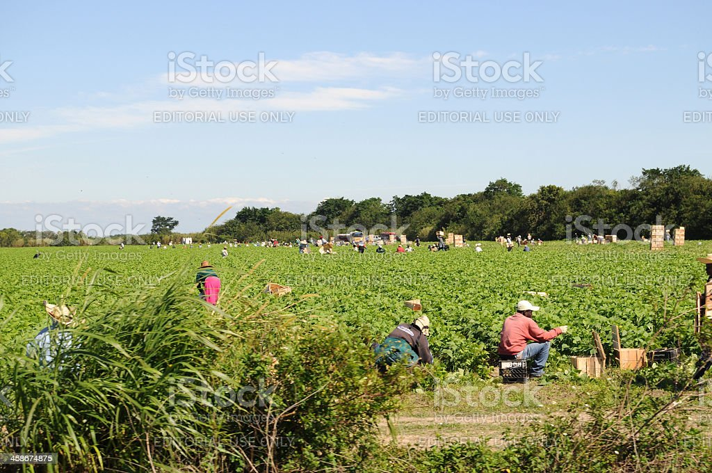 farm workers picking green beans in Florida royalty-free stock photo