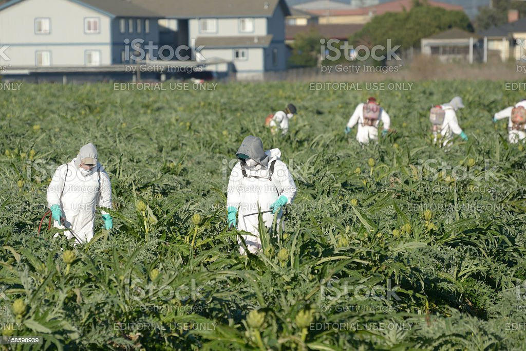 farm workers spraying artichokes royalty-free stock photo