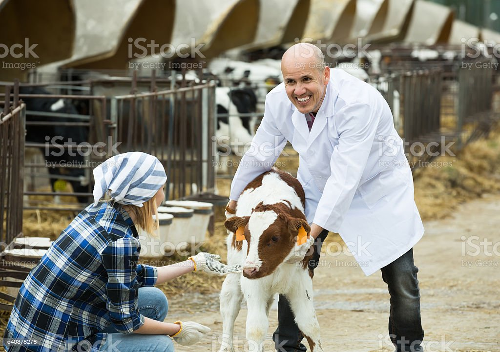 Farm workers with young cattle in cowhouse stock photo