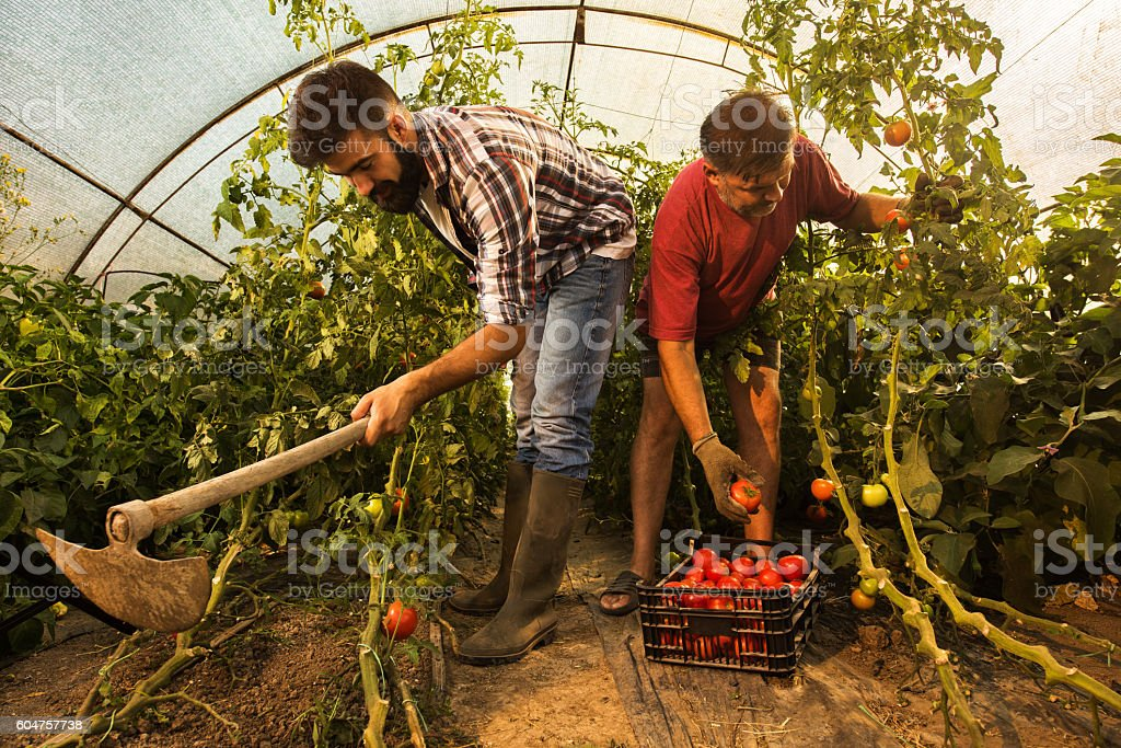 Farm workers working together in a polyethylene tunnel. stock photo