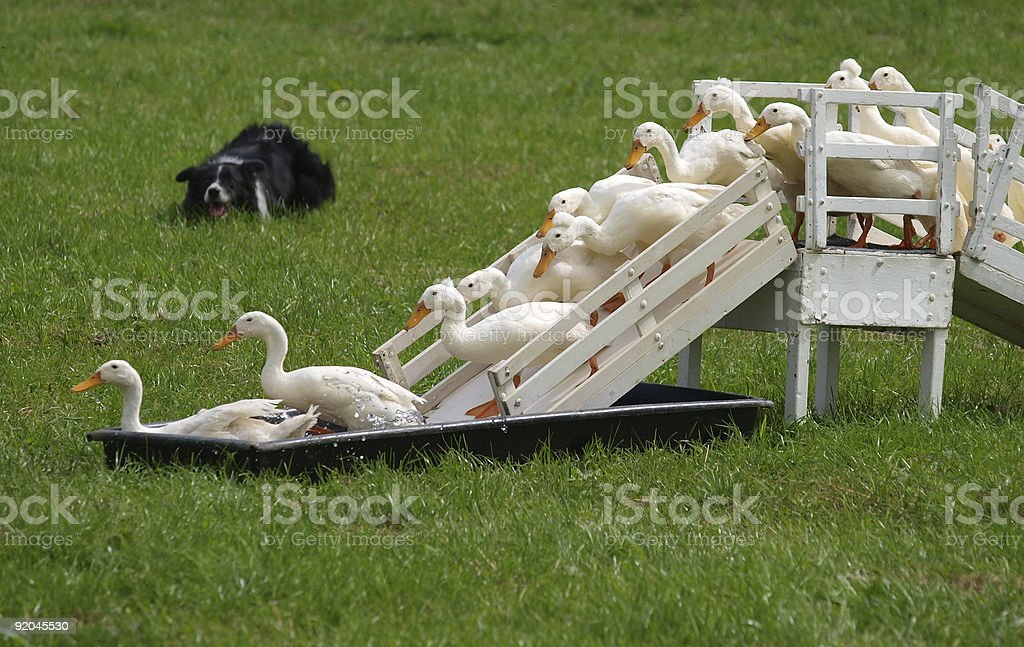farm yard geese herded by border collie dog royalty-free stock photo