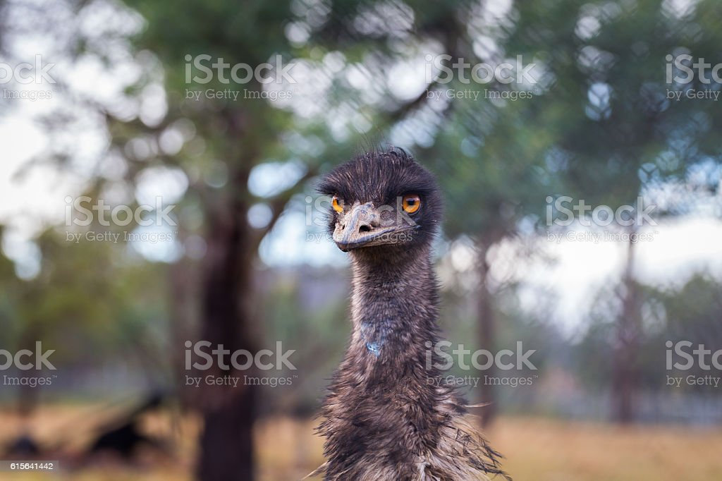 Farmed emu (Dromaius novohollandiae) stock photo