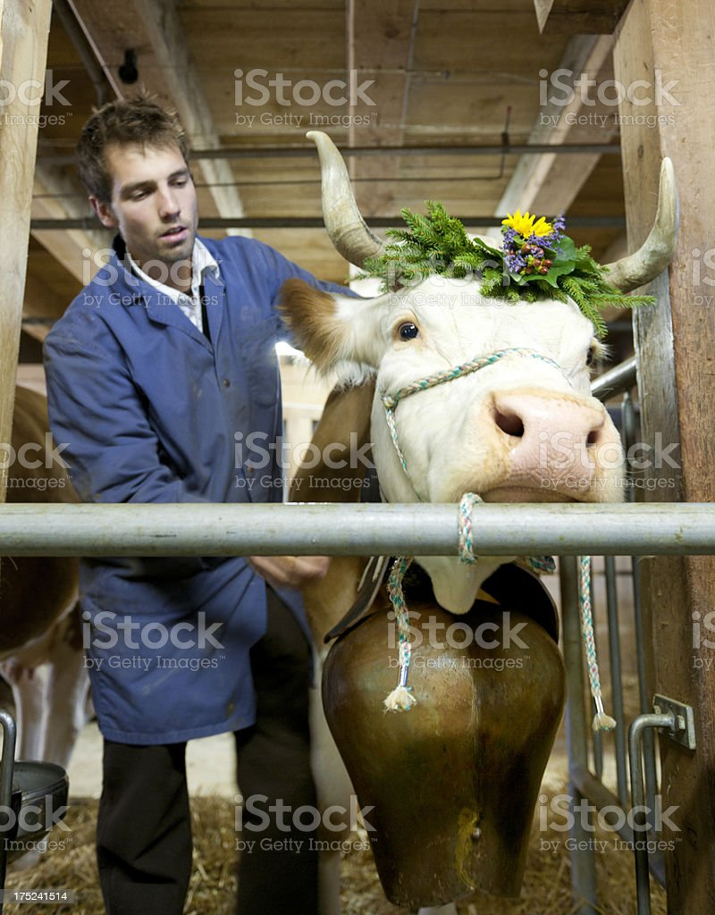 farmer adjusting bell on cow stock photo