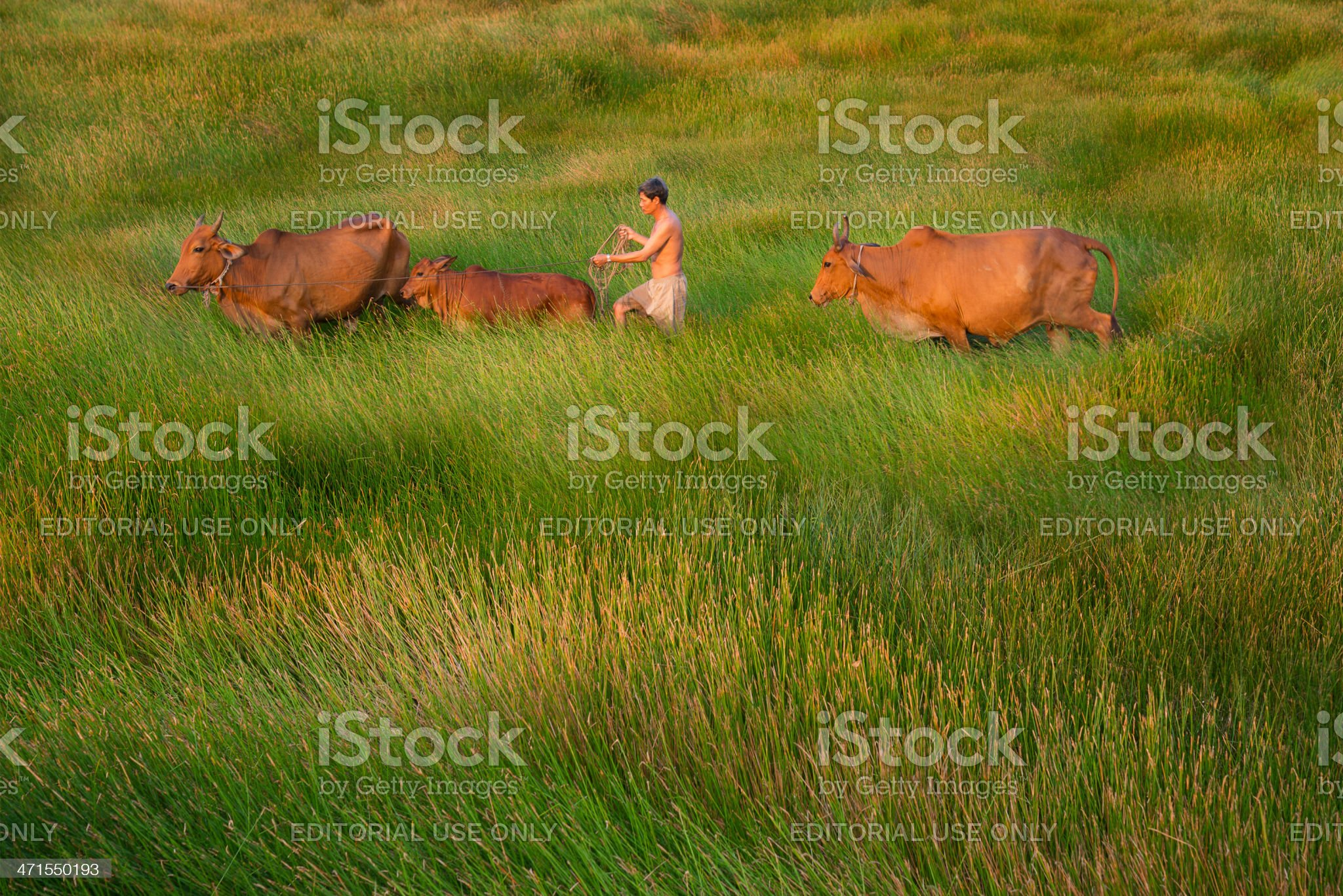 Farmer and cows crossing the farm royalty-free stock photo