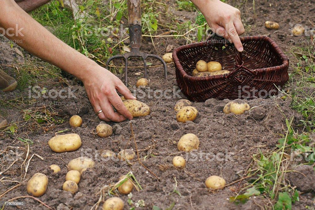 Farmer and potatoes royalty-free stock photo
