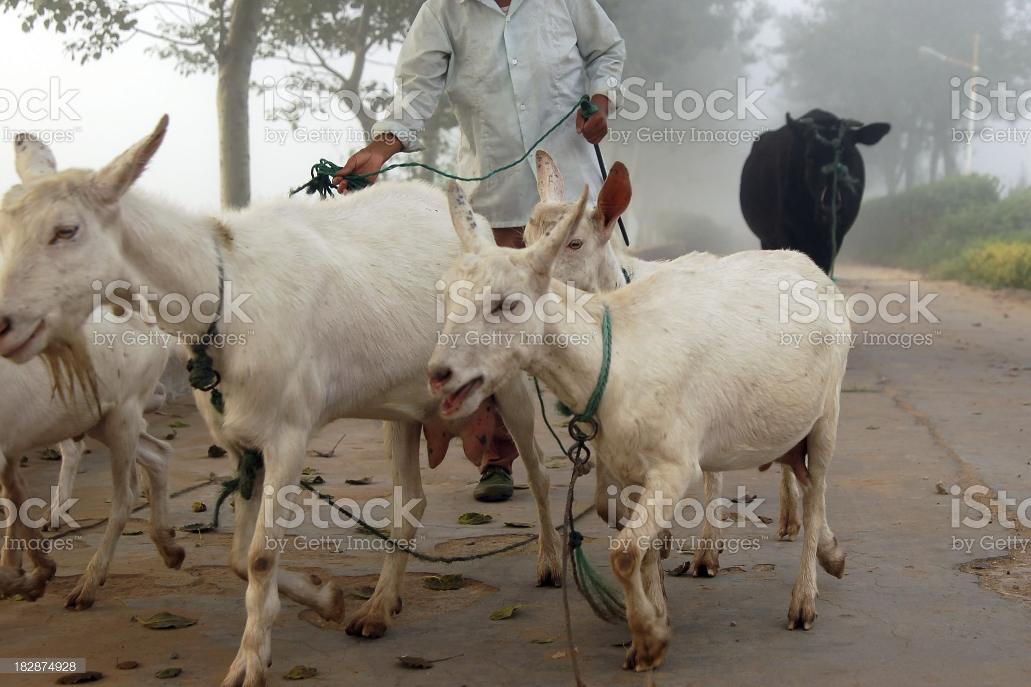 Farmer and Sheep - Large royalty-free stock photo