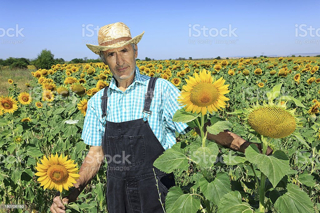 Farmer and sunflower royalty-free stock photo