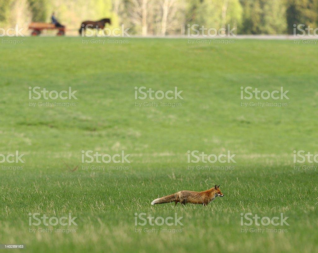 Farmer and the fox stock photo