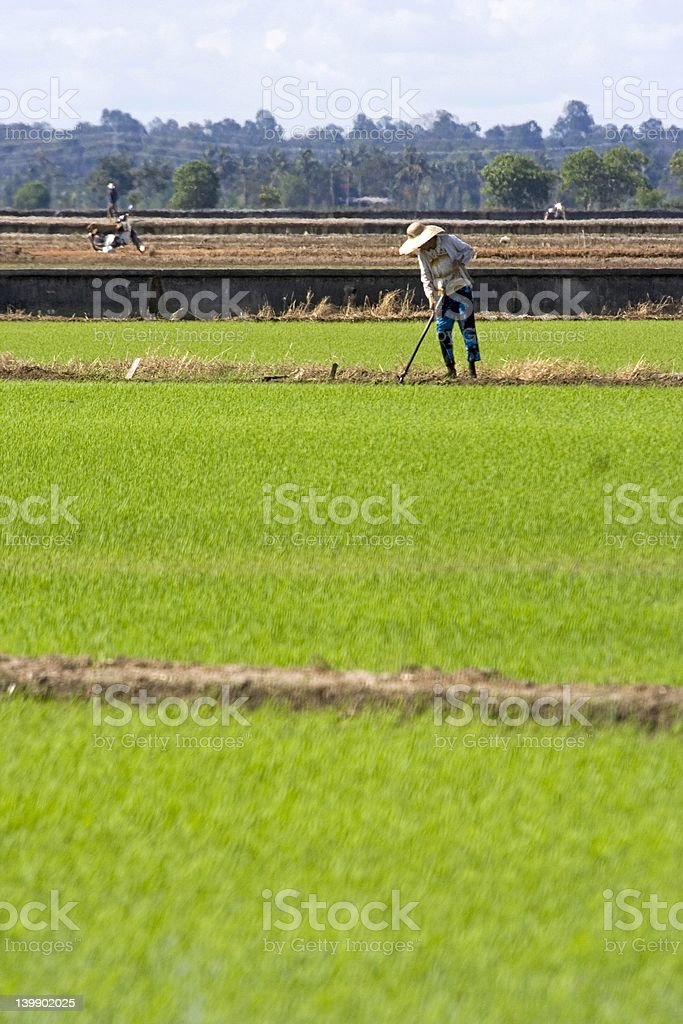 Farmer at Paddy Field royalty-free stock photo