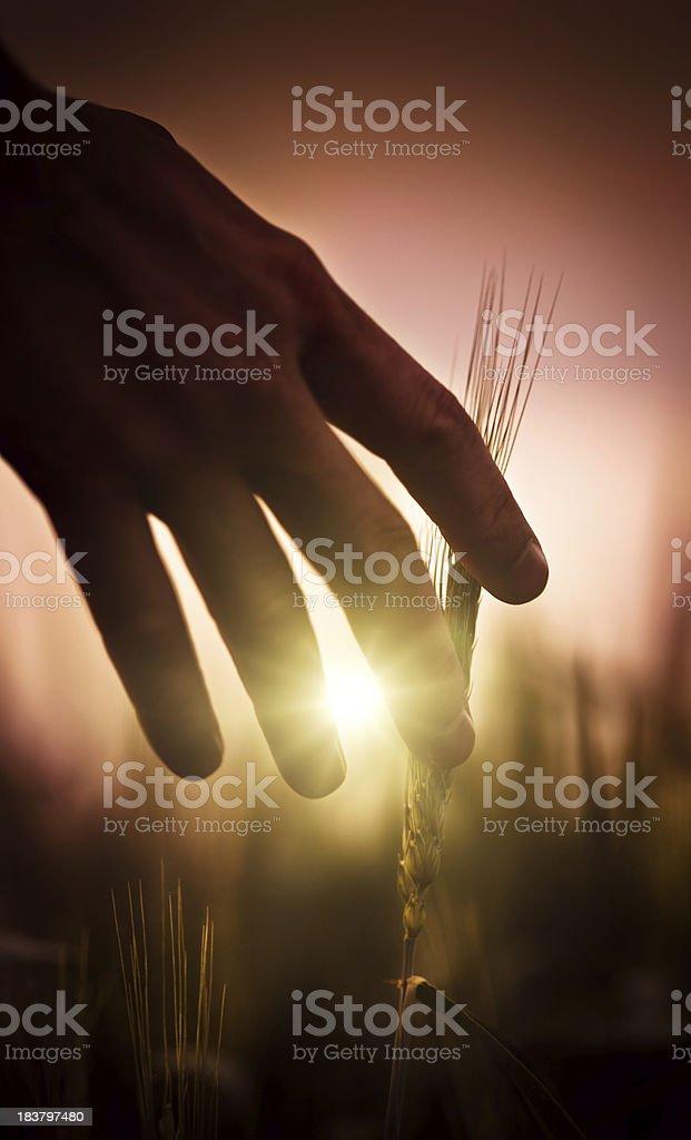 Farmer at sunset royalty-free stock photo