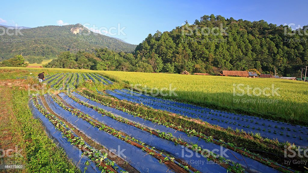farmer at vegetable and rice farm in Chiang Mai stock photo