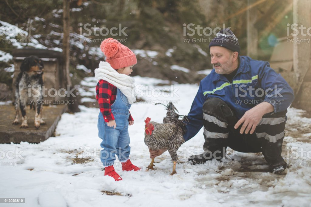 Farmer baby girl in chicken hay meeting the rooster stock photo