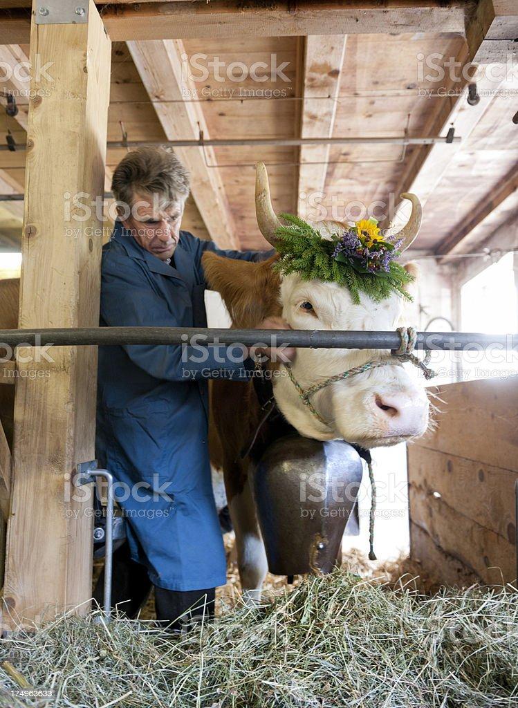 farmer brushing cow stock photo