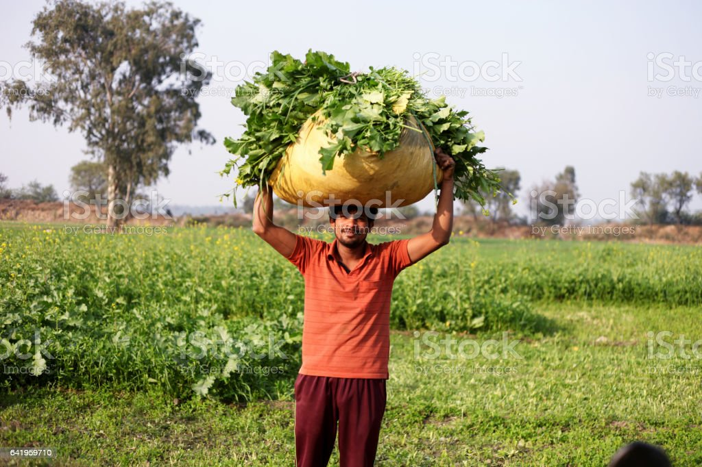Farmer carrying mustard & oat crop stock photo