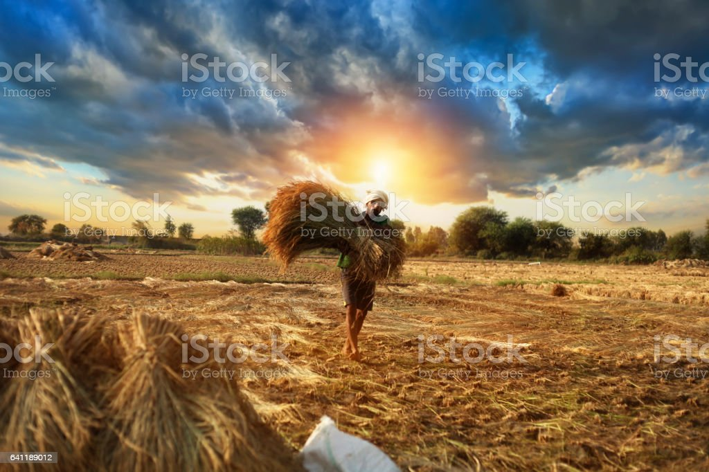 Farmer carrying rice paddy bundle for harvesting stock photo
