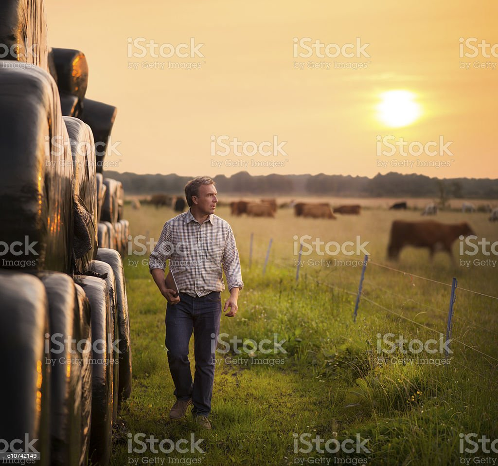 farmer checking his cattle royalty-free stock photo