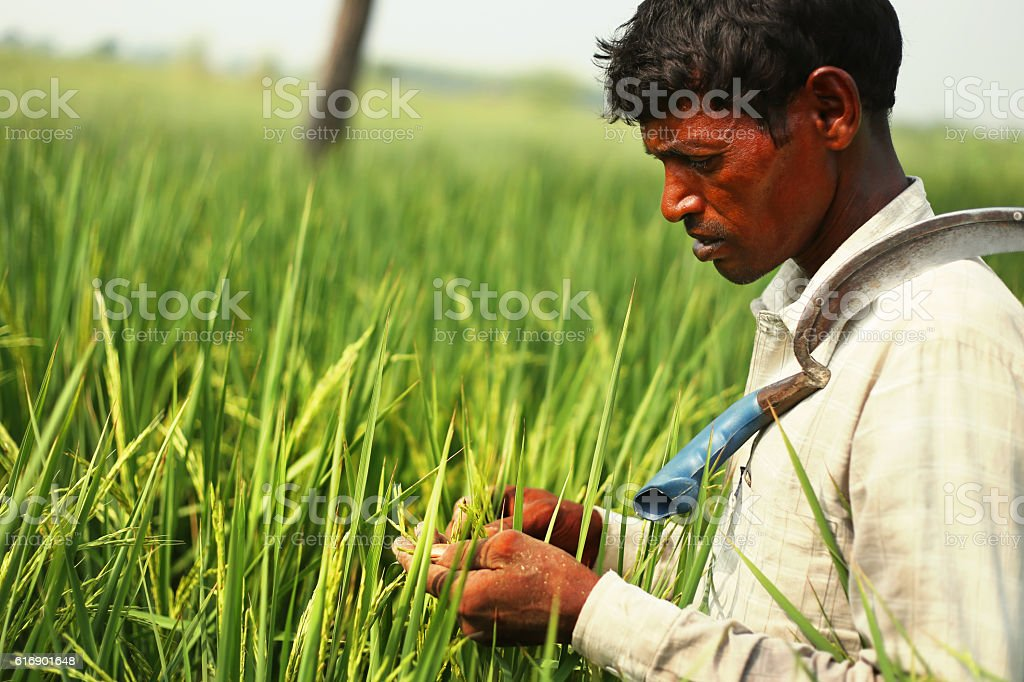 Farmer Checking Rice Paddy Crop stock photo